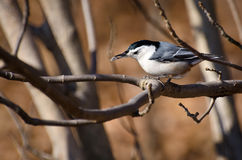 White Breasted Nuthatch Eating a Seed Royalty Free Stock Images
