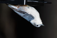 White breasted nuthatch, feeder, hanging Stock Images