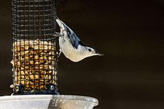 White Breasted Nuthatch on a feeder. Stock Photos