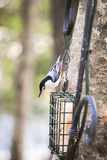 White Breasted nuthatch Stock Photo