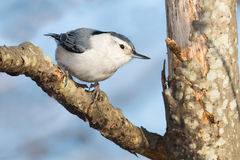 White-breasted Nuthatch Royalty Free Stock Image