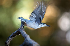 White-breasted Nuthatch flying off branch Royalty Free Stock Image