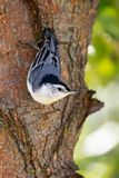 White breasted nuthatch hanging on a tree royalty free stock image