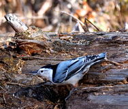 White Breasted Nuthatch On Log Stock Photo