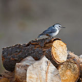 White-breasted Nuthatch on a log Stock Image