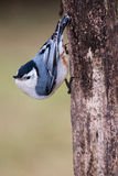 White-breasted Nuthatch. A white-breasted nuthatch pauses along a tree trunk Royalty Free Stock Image