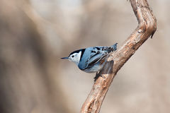 White breasted nuthatch peers over the landscape Stock Image