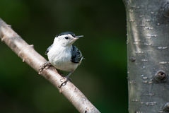 White-Breasted Nuthatch Perched on a Branch Stock Photography