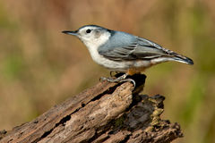 White-breasted Nuthatch Royalty Free Stock Photo