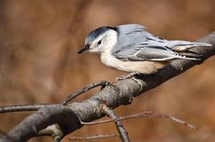 White Breasted Nuthatch Perched pn a Branch Royalty Free Stock Photos