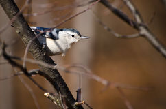 White Breasted Nuthatch Perched in a Tree Stock Image