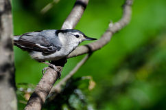 White-Breasted Nuthatch Perched in a Tree Stock Images