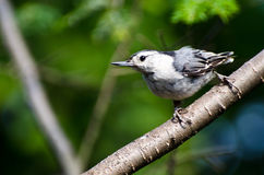 White-Breasted Nuthatch Perched in a Tree Royalty Free Stock Photography