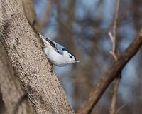 White breasted nuthatch perched on a tree branch Royalty Free Stock Image