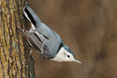 White-breasted Nuthatch. Perched on a tree trunk Stock Photo