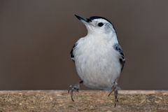 White-breasted Nuthatch Stock Images