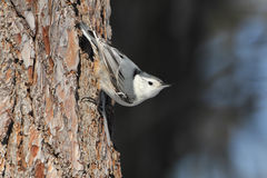 White-breasted Nuthatch on a Red Pine Stock Images