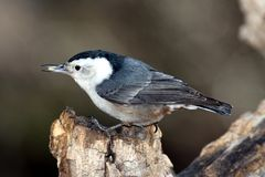 White-breasted nuthatch with seed. On an old tree Royalty Free Stock Photos
