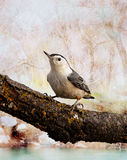 A white breasted nuthatch. A white breasted nuthatch sit on an oak tree branch with a surreal abstract background Royalty Free Stock Image