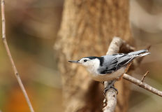 White-breasted Nuthatch, Sitta Stock Image
