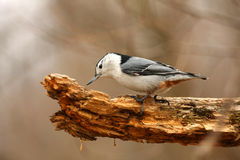 White-breasted Nuthatch Sitta carol Royalty Free Stock Images