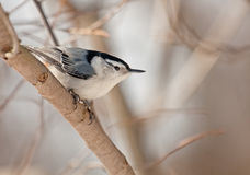 White-breasted Nuthatch (Sitta carolinensis) Royalty Free Stock Image