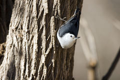 White-breasted Nuthatch, Sitta carolinensis Stock Images