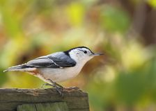 White-breasted Nuthatch, Sitta carolinensis Stock Photo