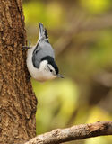 White-breasted Nuthatch, Sitta carolinensis Royalty Free Stock Image
