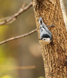 White-breasted Nuthatch, Sitta carolinensis Royalty Free Stock Photos