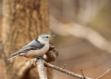 White-breasted Nuthatch, Sitta carolinensis Royalty Free Stock Photo