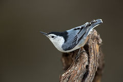 White-breasted Nuthatch (Sitta carolinensis) Stock Photo