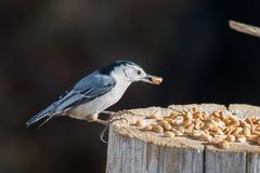 White Breasted Nuthatch Sitta carolinensis Stock Images