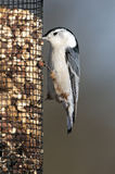 White-breasted Nuthatch (Sitta carolinensis) Stock Photos