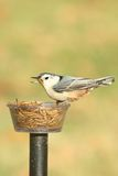 White-breasted Nuthatch sitta carolinensis on a feeder Stock Image