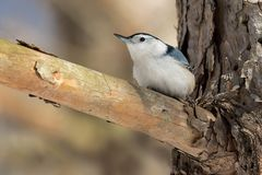 White-breasted Nuthatch - Sitta carolinensis. A male White-breasted Nuthatch is perched on a dead branch sticking out of a live tree trunk. Taylor Creek Park royalty free stock photos