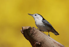 White-breasted Nuthatch (sitta carolinensis) Stock Images