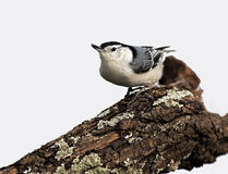 White breasted Nuthatch (Sitta carolinensis) Stock Photos