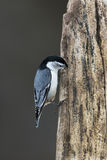 White-breasted Nuthatch (Sitta carolinensis) Royalty Free Stock Photos