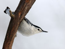 White breasted Nuthatch (Sitta carolinensis) Stock Images