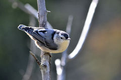 White-breasted nuthatch, Sitta carolinensis Stock Image