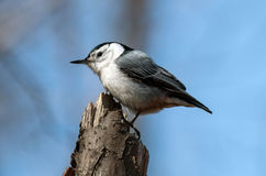 White-breasted Nuthatch(Sitta carolinensis). Side view of a small black white and gray songbird,White-breasted Nuthatch perching on a stump.The background is Stock Image