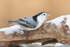 White-breasted Nuthatch (sitta carolinensis) in snow Stock Photos