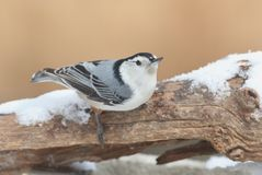 White-breasted Nuthatch (sitta carolinensis) in snow Royalty Free Stock Images
