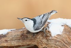 White-breasted Nuthatch (sitta carolinensis) in snow Royalty Free Stock Photo