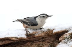 White-breasted Nuthatch (sitta carolinensis) in snow Royalty Free Stock Image