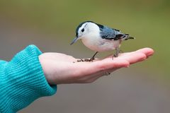 White-breasted Nuthatch - Sitta carolinensis. White-breasted Nuthatch male White-breasted Nuthatch perched on an outstretched hand looking at the offered seeds royalty free stock photo