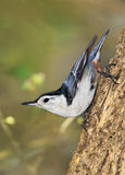 White Breasted Nuthatch Royalty Free Stock Image