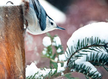 White breasted nuthatch in the snow Royalty Free Stock Photography