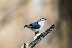 White-breasted Nuthatch on Snowy Branch Royalty Free Stock Photography